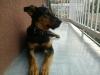 Cachorro de 7 meses en adopción